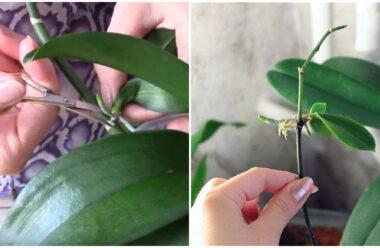 Як правильно розмножити орхідею за допомогою «діток». Господиням на замітку.