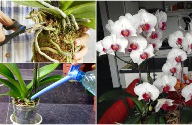 Як правильно доглядати за орхідеєю, щоб вона не хворіла, а цвіла якомога довше.