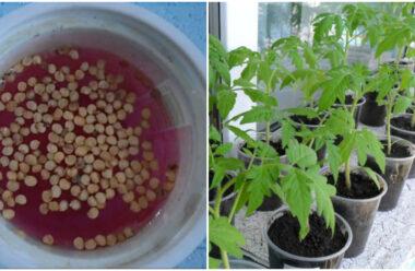 Як правильно підготувати насіння помідор, перед посадкою на розсаду.