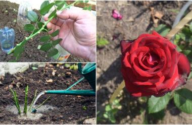 Як правильно садити зрізані троянди, щоб вони добре прижилися.