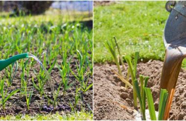 Чим, та коли підживляти часник на весні, та як захистити його від хвороб.