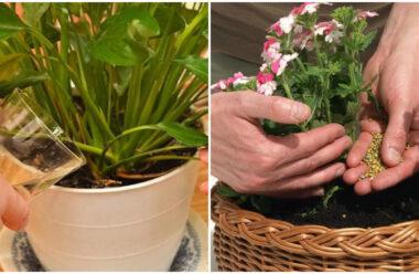 Корисні поради, для гарного росту та цвітіння кімнатних рослин.