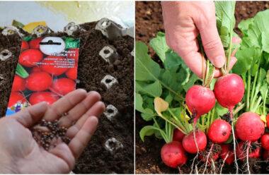 Простий спосіб отримати великий врожай редиски. Городникам на замітку