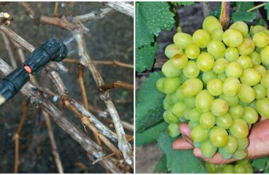 Чим обробити виноград весною, щоб захистити його від хвороб та шкідників