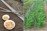 Які рослини не можна сіяти на одній грядці, щоб уникнути поганого врожаю