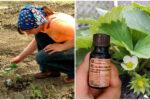 Натуральні засоби для обробки полуниці весною, щоб захистити її від хвороб та шкідників.