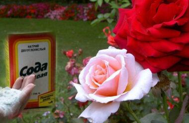 Засіб для омолодження кущів троянд. Нові пагони можна побачити вже через два тижні