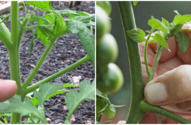 Пасинкування помідорів: які листочки потрібно видалити, а які залишити